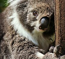 Anybody want a koala hug? by Karen Tregoning