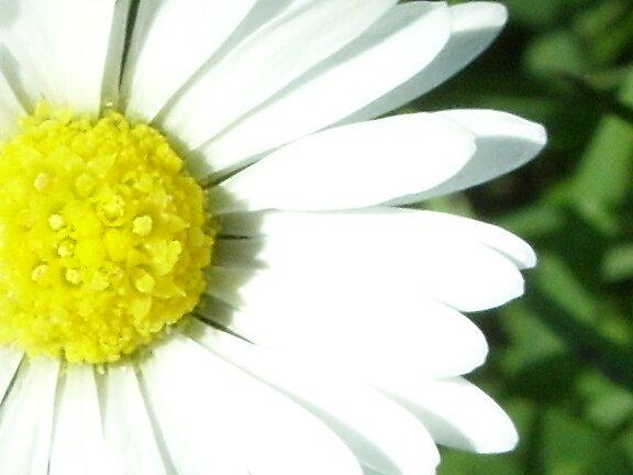 daisy by Andrea Scott