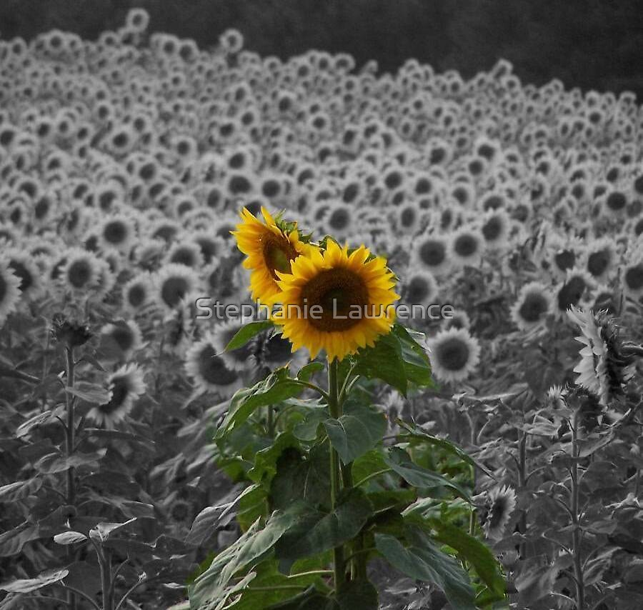 Sunflower by Stephanie Lawrence