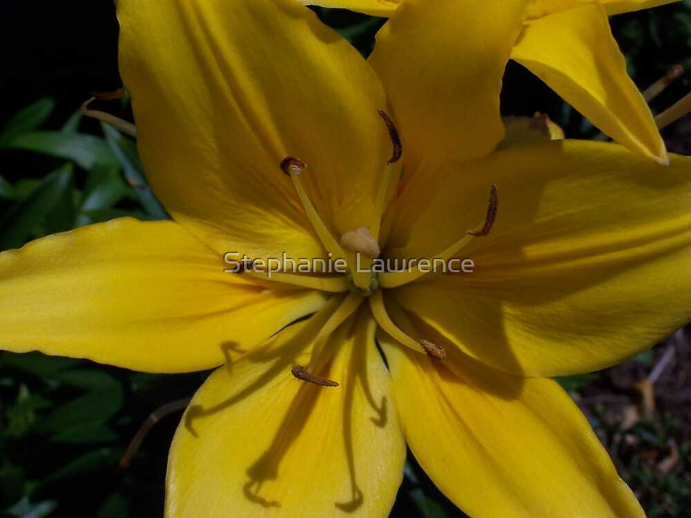 Yellow Lily by Stephanie Lawrence