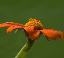 Orange Flower (Tithonia) by Krys Squires