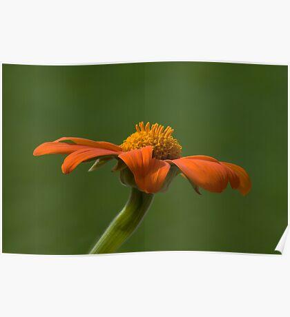 Orange Flower (Tithonia) Poster