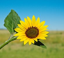 Sunflower by Krys Squires