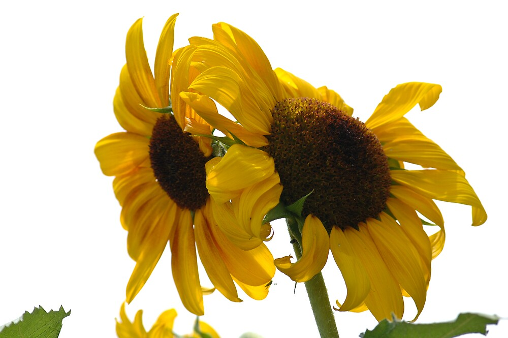 Ragged Sunflowers by Krys Squires