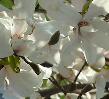 Dog wood blossoms by candis