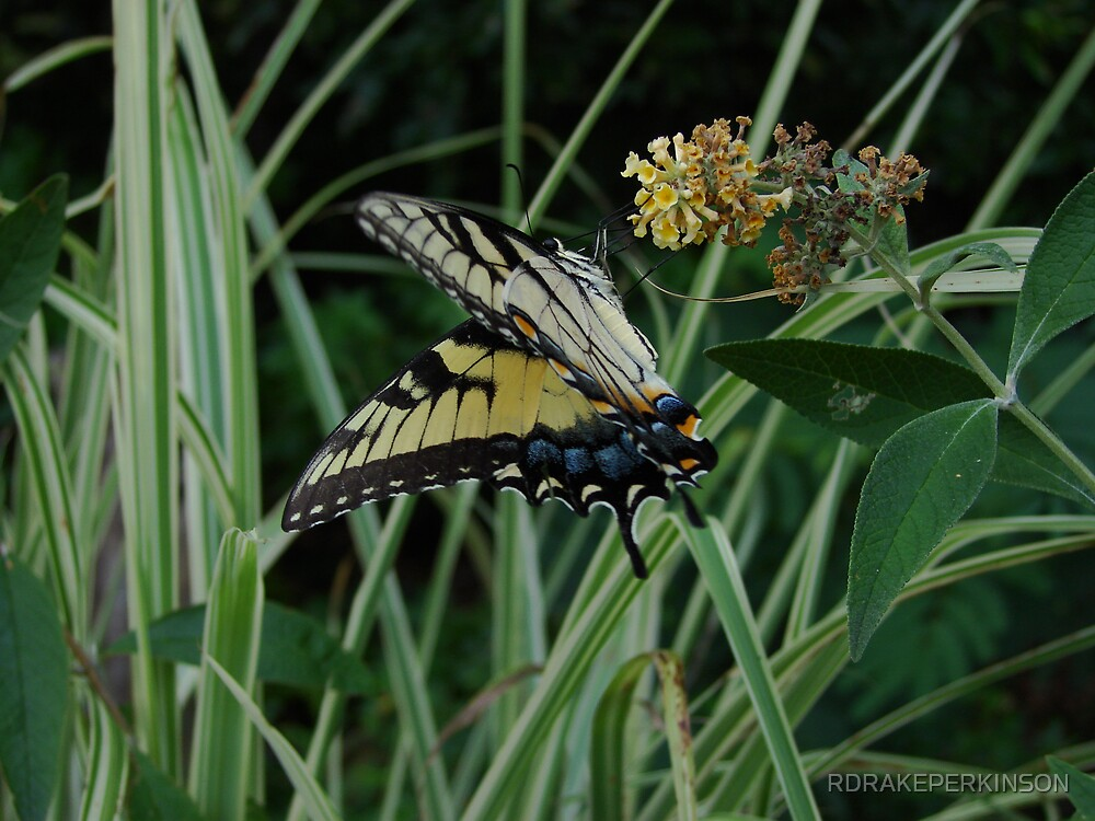 tiger swallowtail by RDRAKEPERKINSON