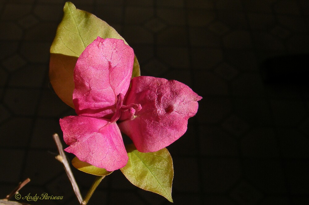 Bougainvillia by Andy2302