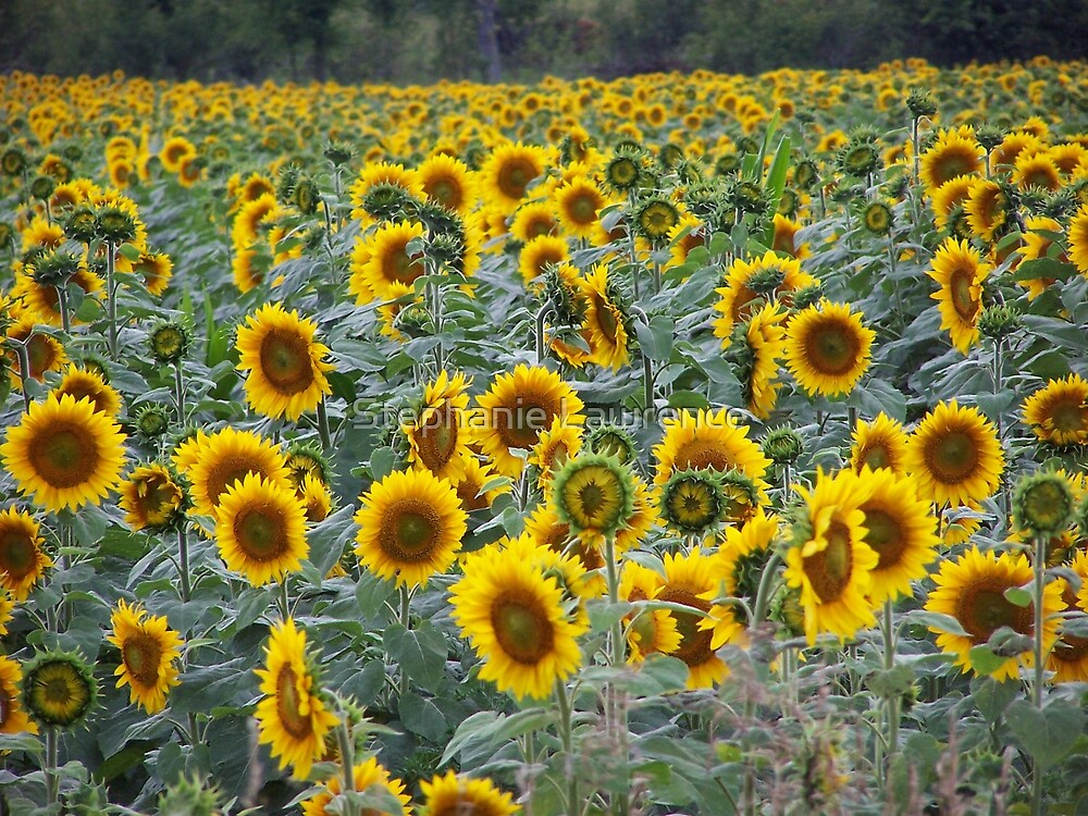 Sunflower Field by Stephanie Lawrence