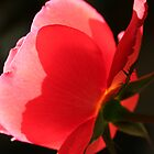 red red rose by photogenic