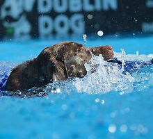 Dock Diving • Chocolate Labrador by 2woofs-1meow