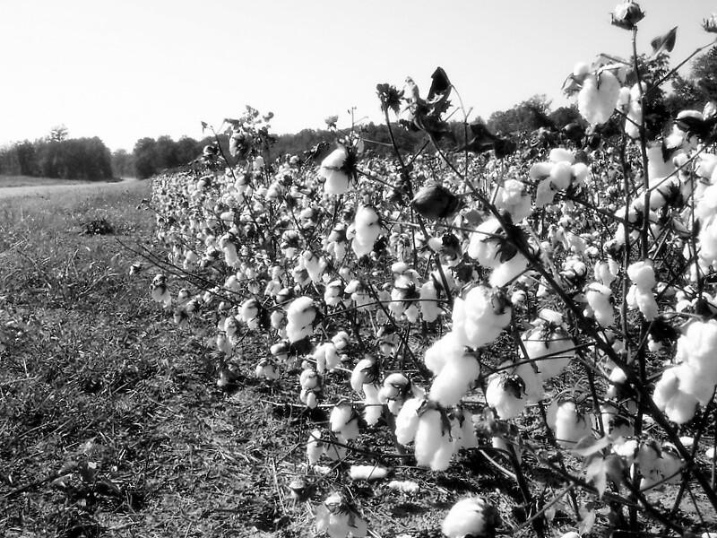 Cotton by garain