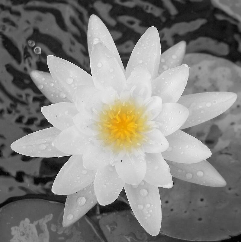 Waterlily by garain