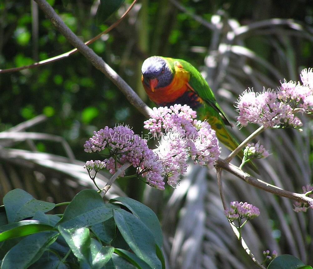 A colourful  Australian with native Euodia Tree Blossom. by Virginia McGowan