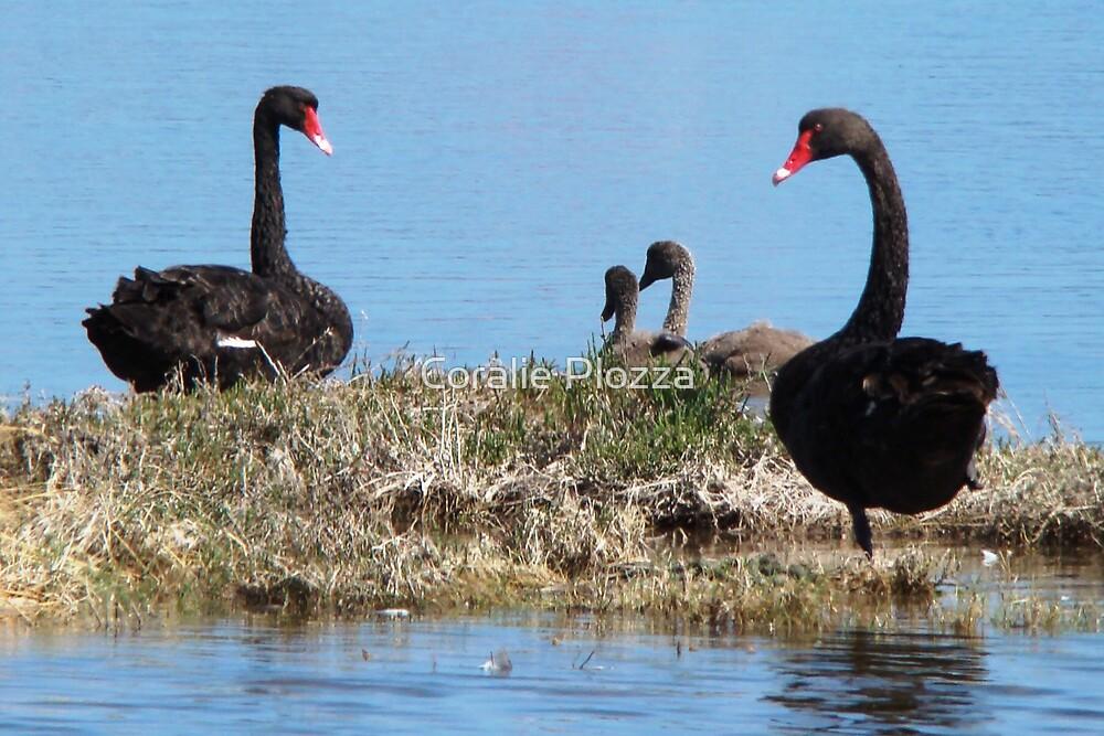 Black Swan Family by Coralie Plozza