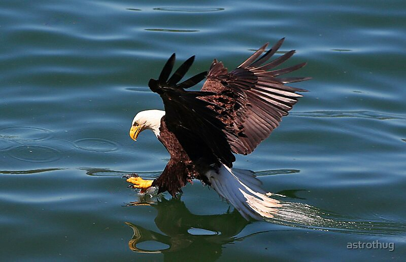 Eagle On the water by astrothug