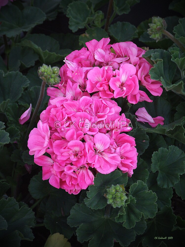 Pink Geraniums by © CK Caldwell IPA