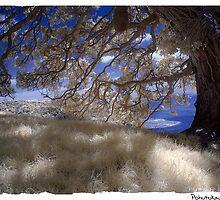 Pohutukawa Tree by Ant Vaughan