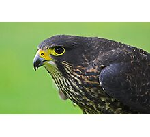 New Zealand Falcon Photographic Print