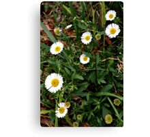 White Daisies Canvas Print