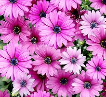 Deep Pink Daisies by LifeisDelicious