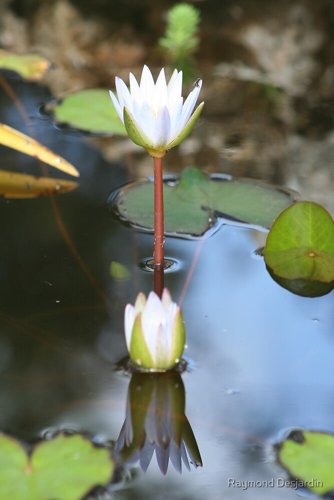 twin water lilies by Raymond Desjardin