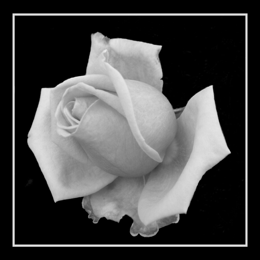 Pink Rose In  Black & White by Kay  G Larsen