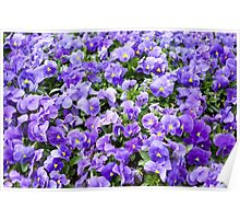 pansy flowers blooming  Poster
