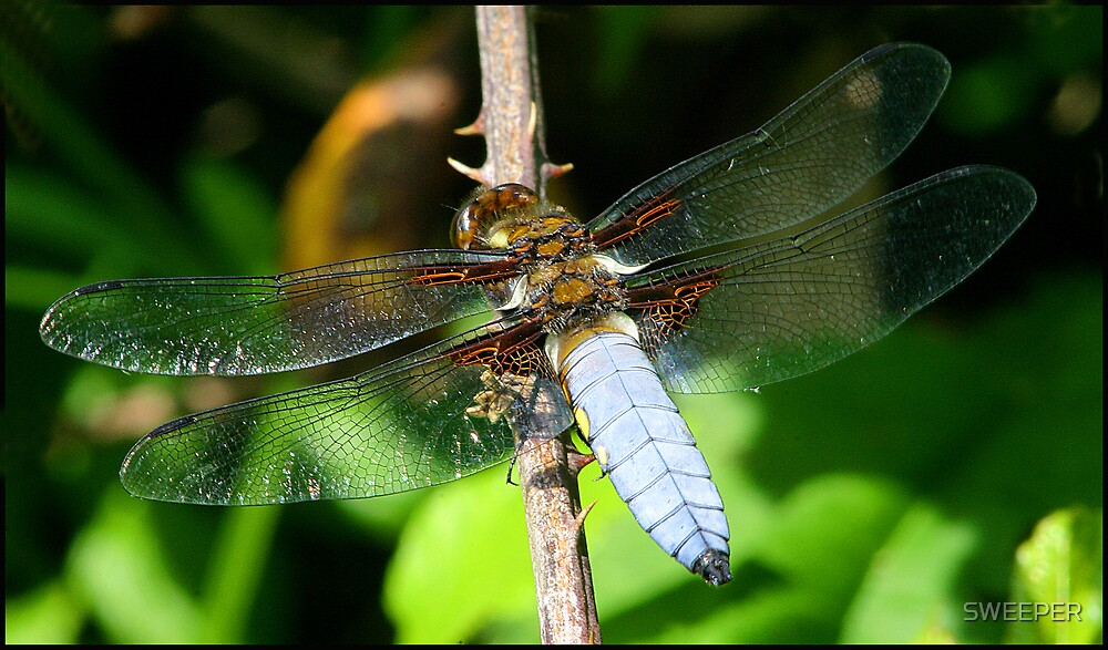 Dragonfly 2 by SWEEPER