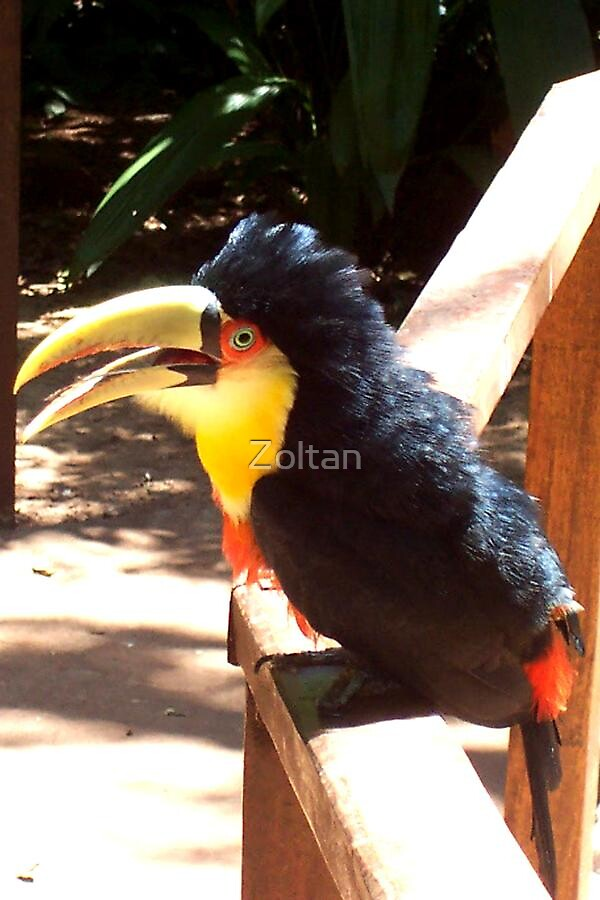 THE TOUCAN  by Zoltan