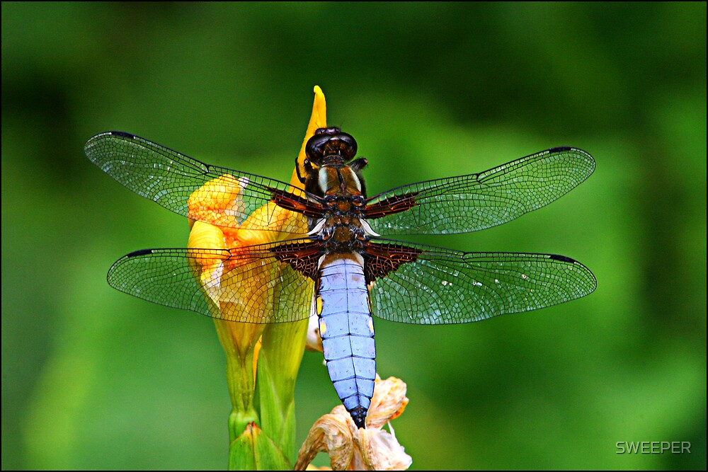 Dragonfly  by SWEEPER