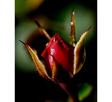 Reflowering of the Rose Photographic Print