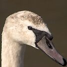 Juvenile Swan at Slimbridge  by SWEEPER