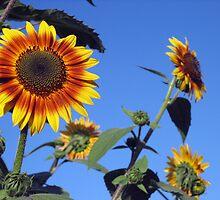 SunnyFlower Family by Robin Fortin IPA