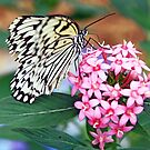Butterfly Perch by moorefaith