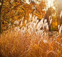 Miscanthus ornamental grass growing in park  by Arletta Cwalina