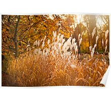 Miscanthus ornamental grass growing in park  Poster