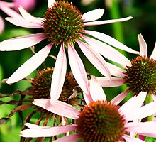 Echinacea  by Robert Worth