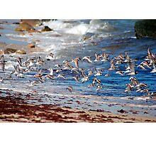 Shore Bird flight Photographic Print