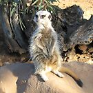 Meerkat Watch by jess116