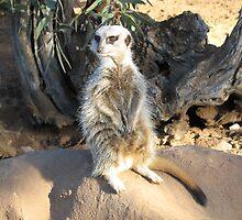 Meerkat Watch by jess116