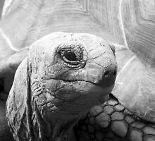 Aldabran Giant Tortoise by jess116
