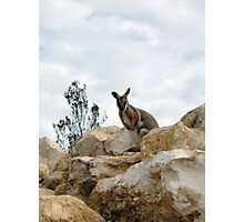Yellow-Footed Rock Wallaby Photographic Print