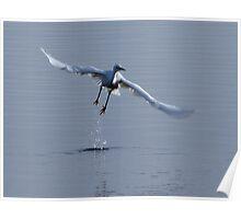 Little Egret in flight Poster