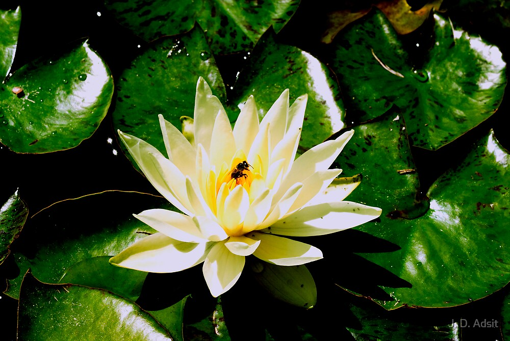 The Zen of Beeing the Lotus by J. D. Adsit