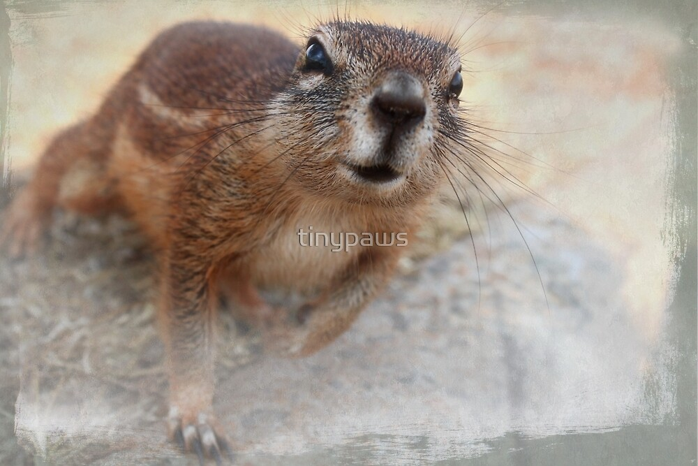 Cape ground squirrel (Xerus inauris) by tinypaws