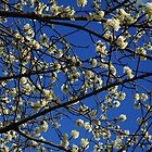 The White and Blue of Spring by Themis