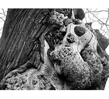 Old oak in Greenwich Park Photographic Print