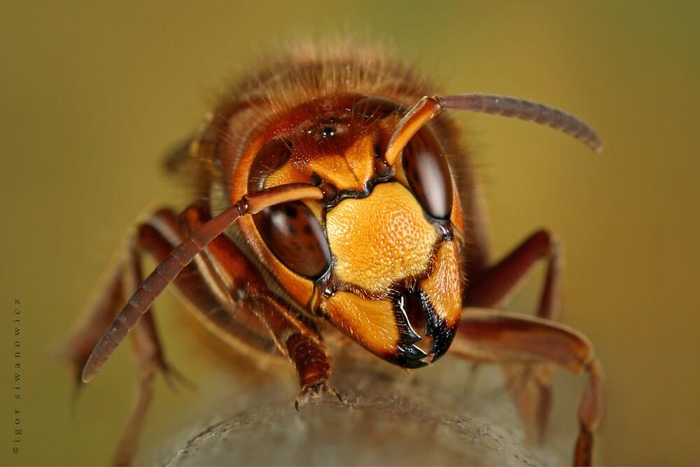 raging hornet by blepharopsis