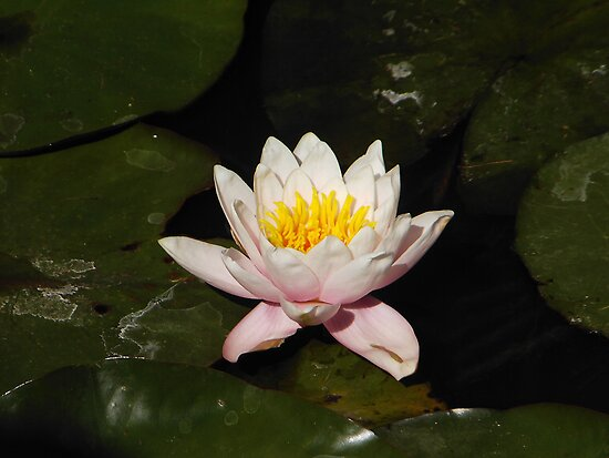 Waterlilly by salsbells69