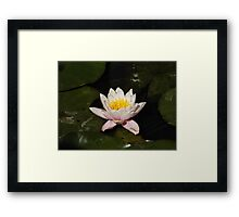 Waterlilly Framed Print